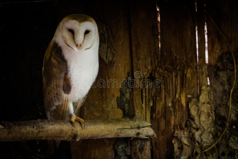 Barn owl into the shadow. The barn owl Tyto alba is the most widely distributed species of owl and one of the most widespread of all birds. It is also referred stock images
