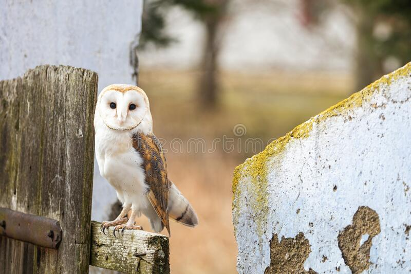 Barn owl sitting on the fence stock image