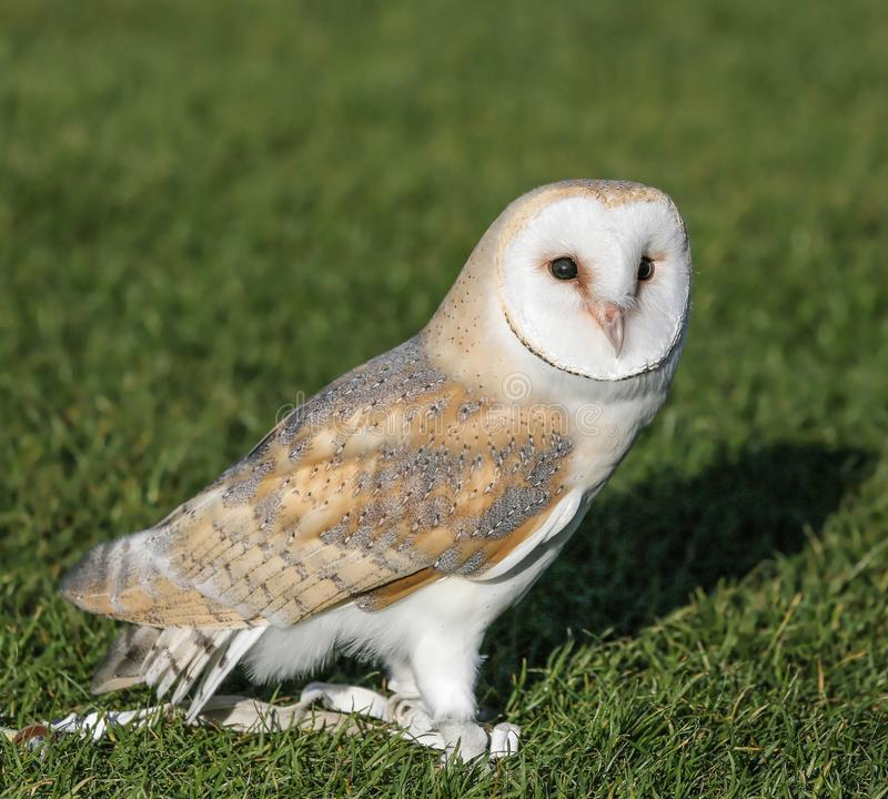 barn owl standing on grass looking at camera. royalty free stock images
