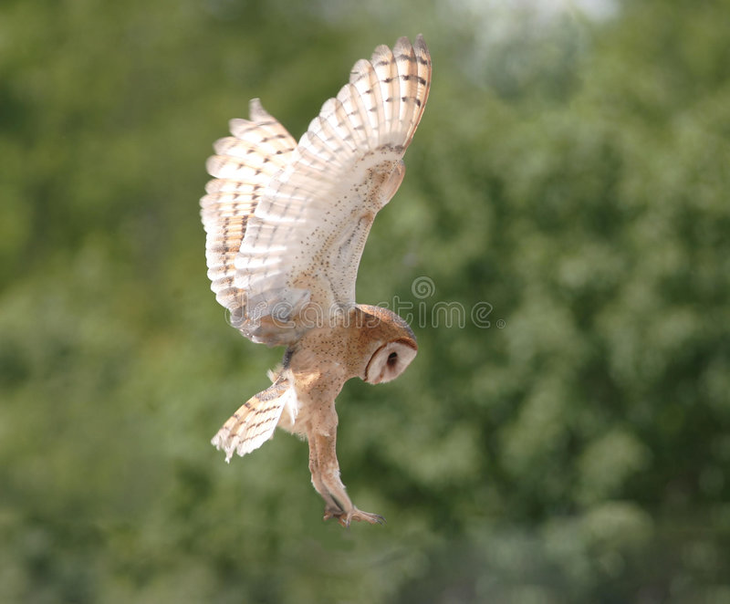 Barn owl about to land royalty free stock photos