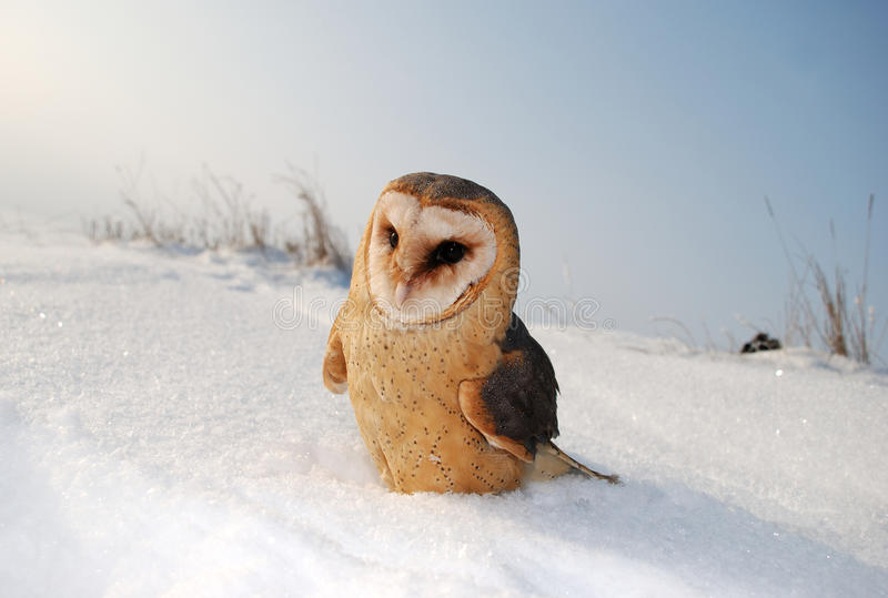 Download Barn Owl (tyto Alba) Royalty Free Stock Photography - Image: 12411547