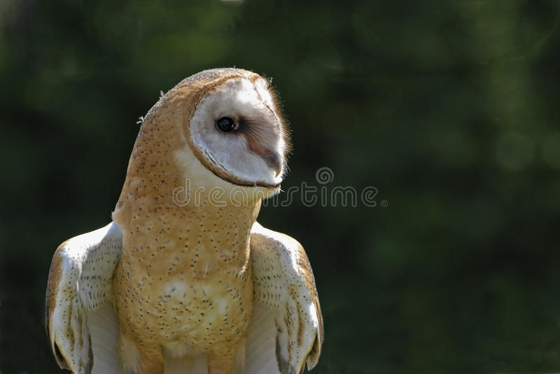 Download Barn Owl (tyto Alba) Royalty Free Stock Images - Image: 15409519