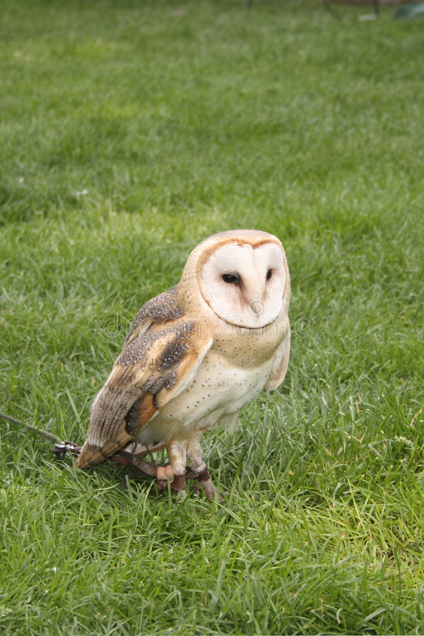 Download Barn Owl, Tyto alba stock image. Image of wildlife, prey - 17701195