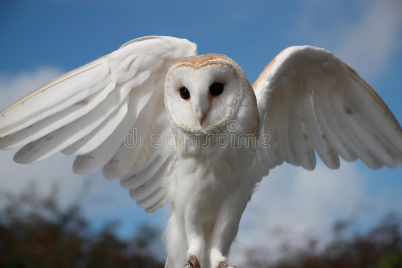 Barn Owl (Tyto Alba). Barn Owl, (also known as Screech Owl or White Owl), with wings outstretched against blue sky