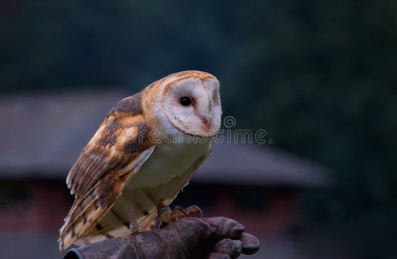 Barn owl (Tyto alba) royalty free stock image