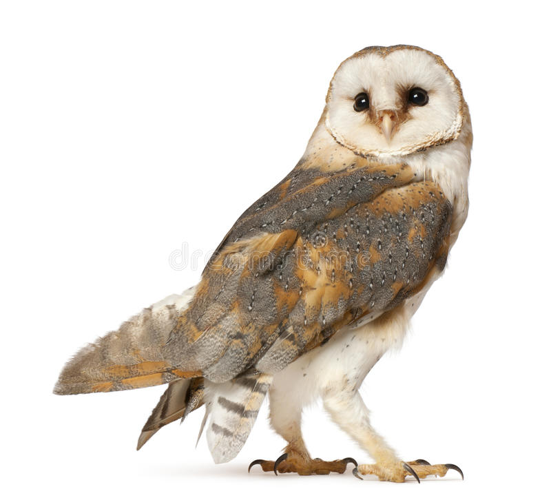 Barn Owl, Tyto alba. Standing in front of white background