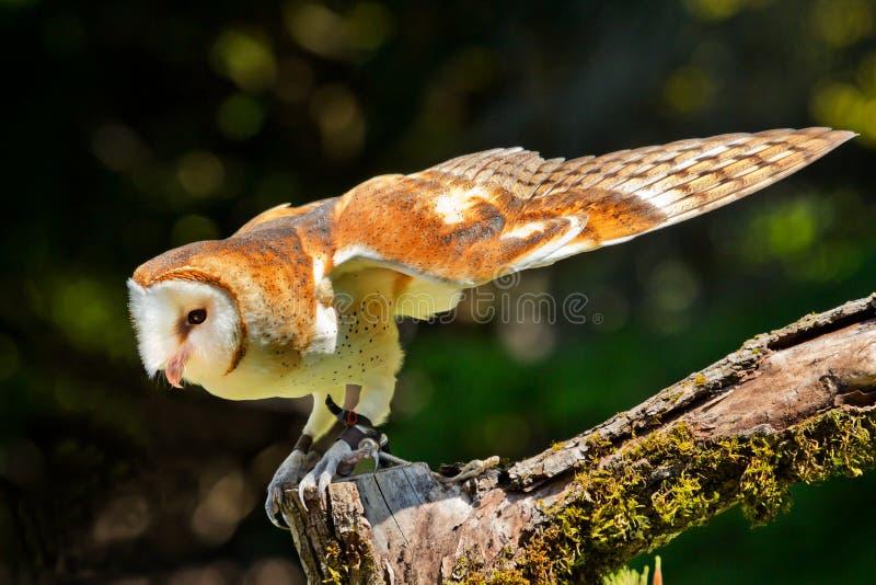 Barn Owl Tyto Alba Stock Photo