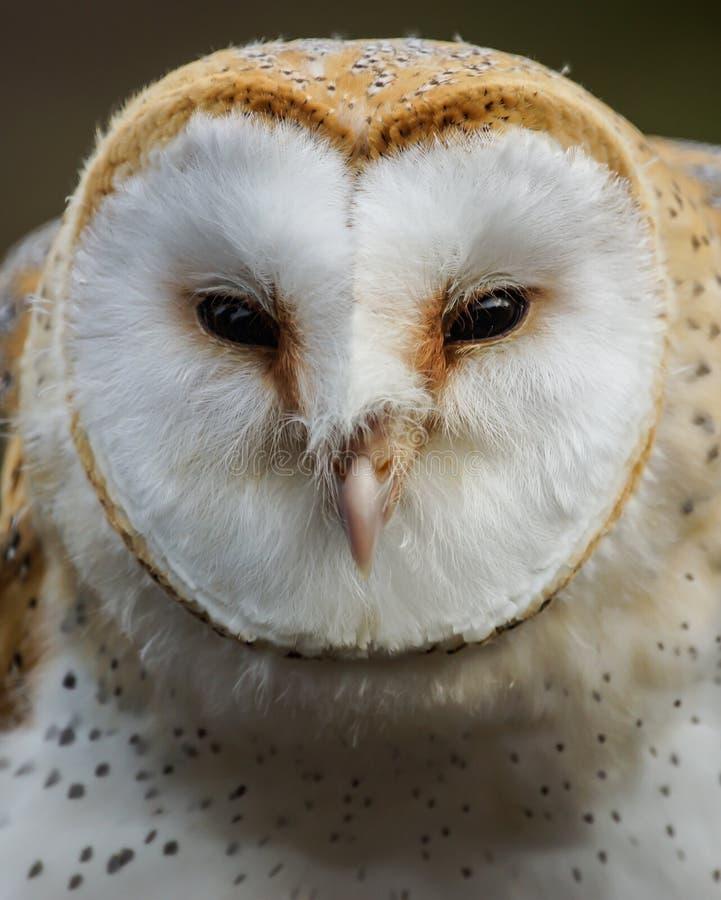 Barn Owl /  Tyto Alba Stock Photos