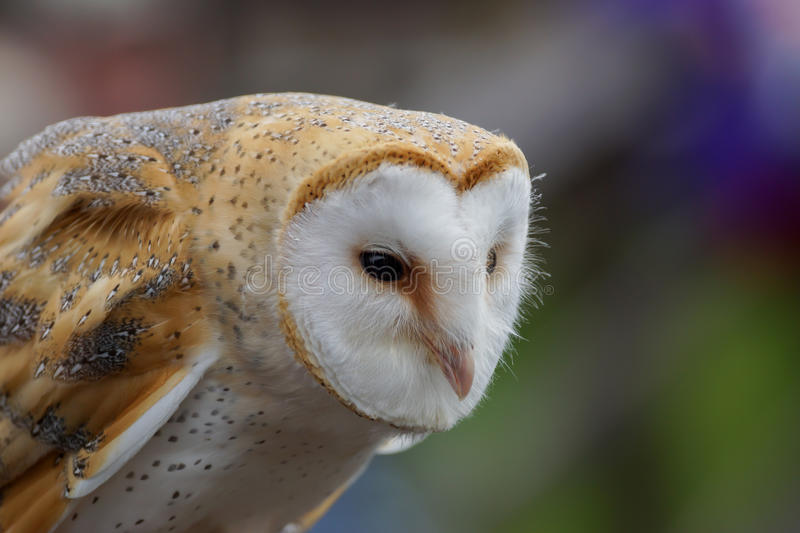 Download Barn Owl /  tyto alba stock photo. Image of face, common - 26698842