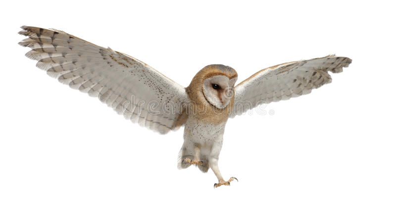 Barn Owl, Tyto alba, 4 months old, flying royalty free stock photos