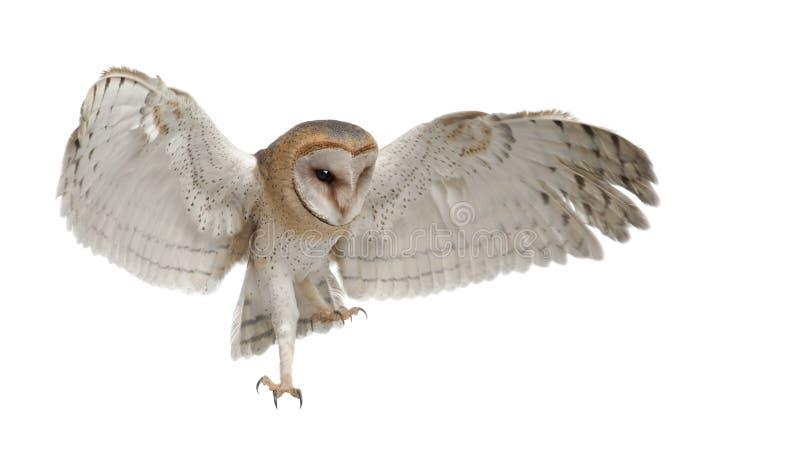 Barn Owl, Tyto alba, 4 months old, flying. Against white background