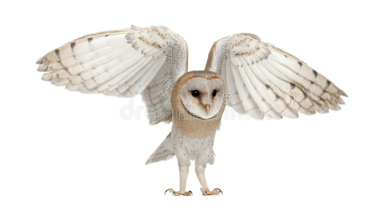 Barn Owl, Tyto alba, 4 months old, flying royalty free stock photography