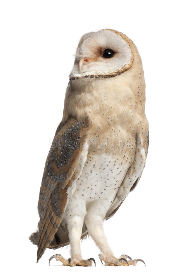 Barn Owl, Tyto alba, 4 months old, standing royalty free stock photography