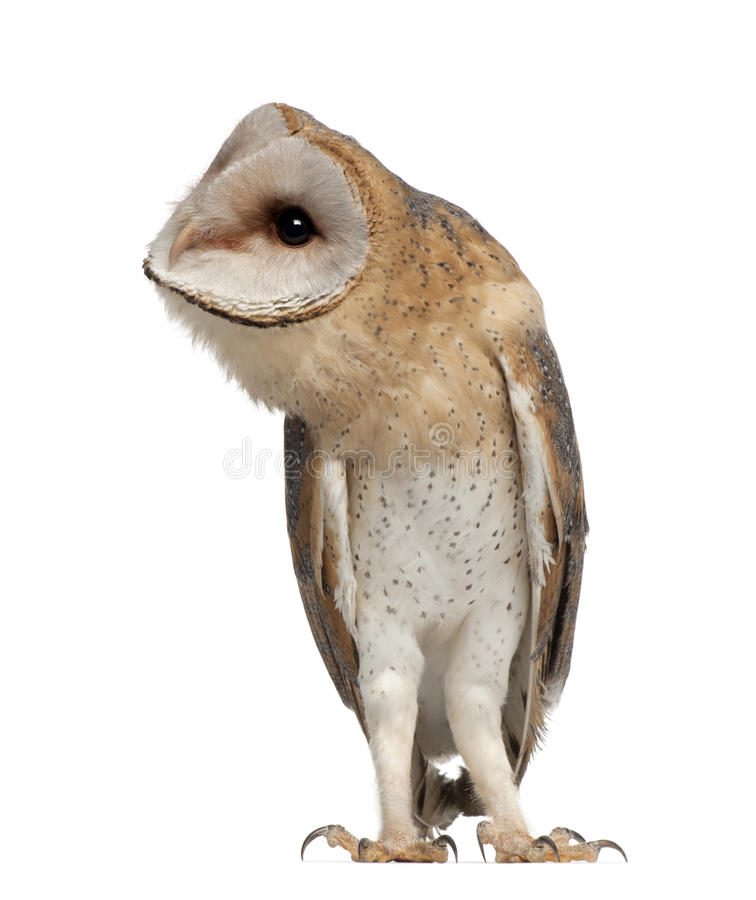 Download Barn Owl, Tyto Alba, 4 Months Old, Standing Stock Image - Image: 26425121