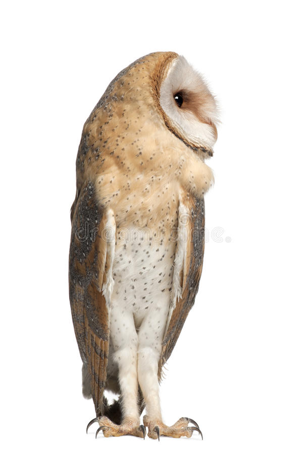 Download Barn Owl, Tyto Alba, 4 Months Old, Standing Royalty Free Stock Photo - Image: 26425135