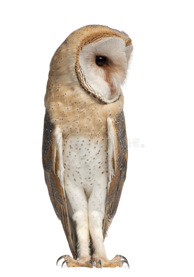 Download Barn Owl, Tyto Alba, 4 Months Old, Standing Stock Image - Image: 26425137