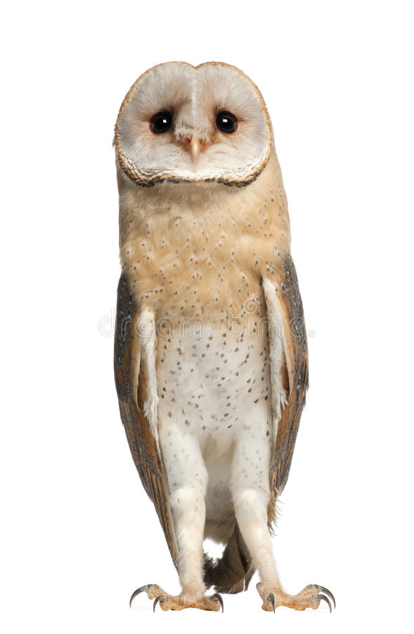 Download Barn Owl, Tyto Alba, 4 Months Old, Standing Royalty Free Stock Image - Image: 26425146