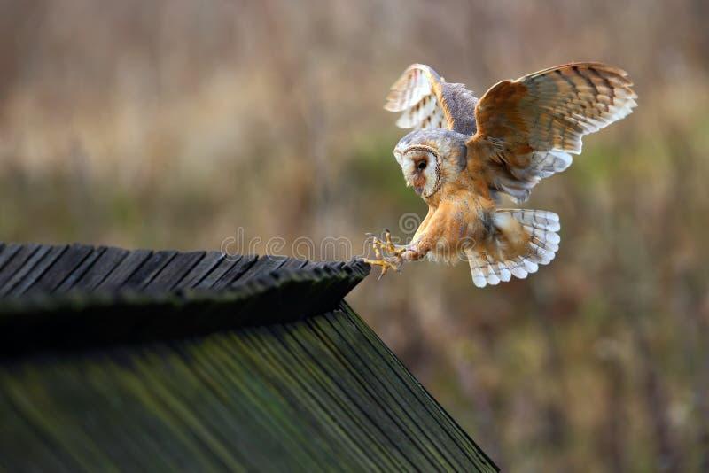 Barn owl, Tyto alba, bird landing on wooden roof, action scene in the nature habitat, flying bird, France. Europe stock photo