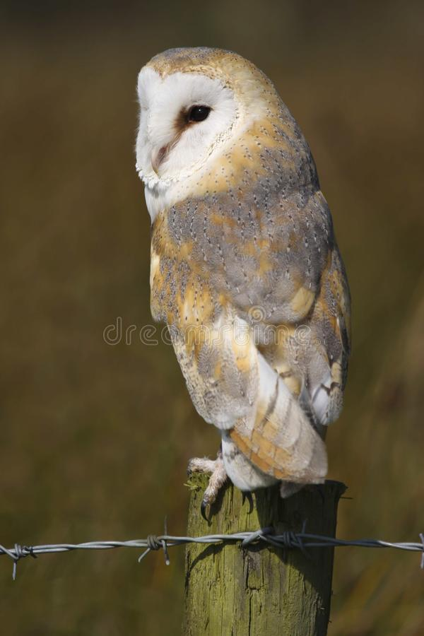 Barn Owl Tyto alba Bird of Prey stock photos