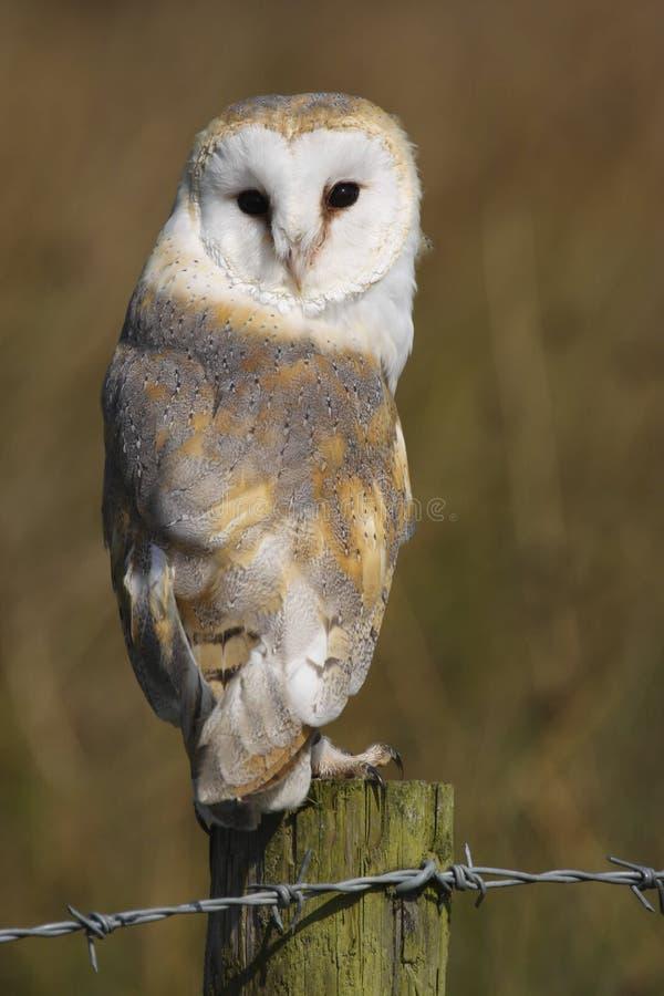 Barn Owl Tyto alba Bird of Prey stock image