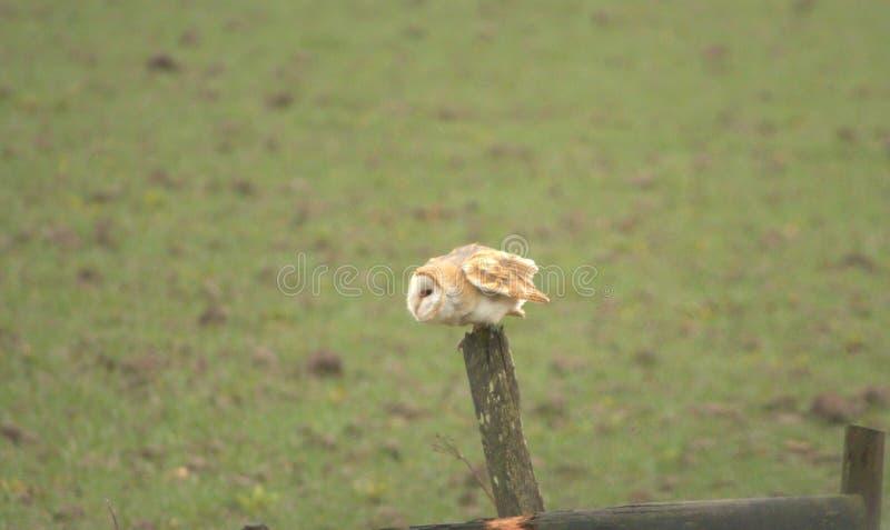 Barn Owl or Tyto alba. royalty free stock image