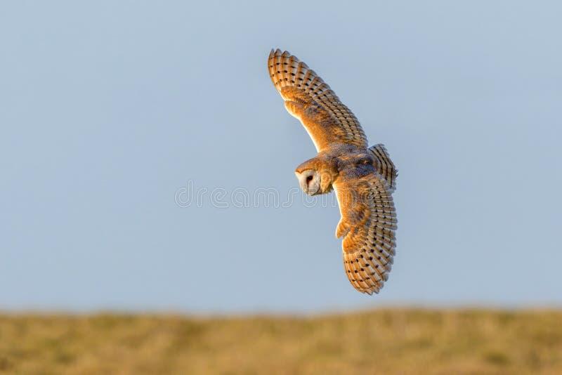 Barn Owl - Tyto alba hunting for prey. stock photo