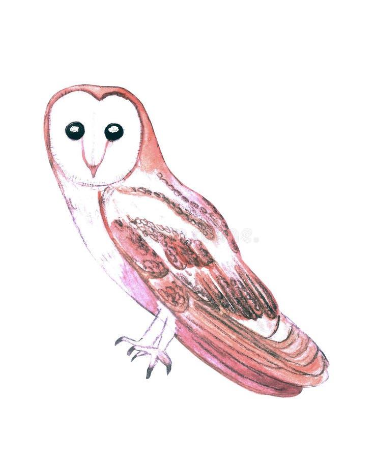 Barn owl or Tyto alba isolated on white.  stock illustration