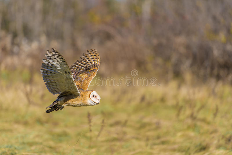 Barn owl (Tyto alba). The barn owl (Tyto alba) is the most widely distributed species of owl, and one of the most widespread of all birds. It is also referred to stock images