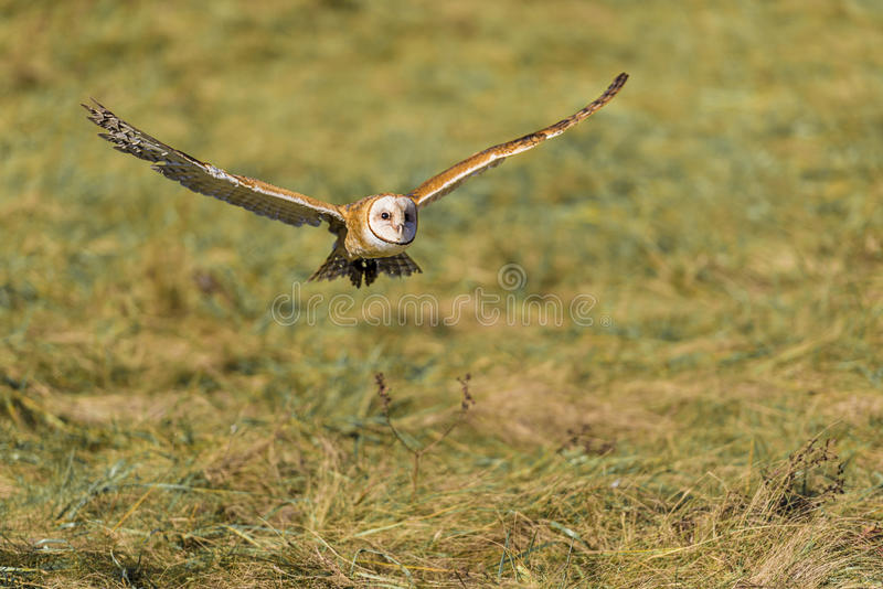 Barn owl (Tyto alba). The barn owl (Tyto alba) is the most widely distributed species of owl, and one of the most widespread of all birds. It is also referred to royalty free stock images