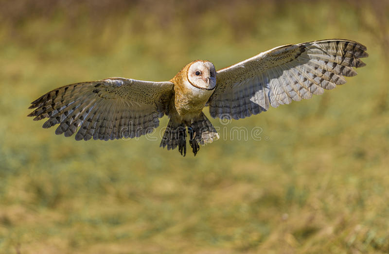 Barn owl (Tyto alba). The barn owl is the most widely distributed species of owl, and one of the most widespread of all birds. It is also referred to as the royalty free stock photography