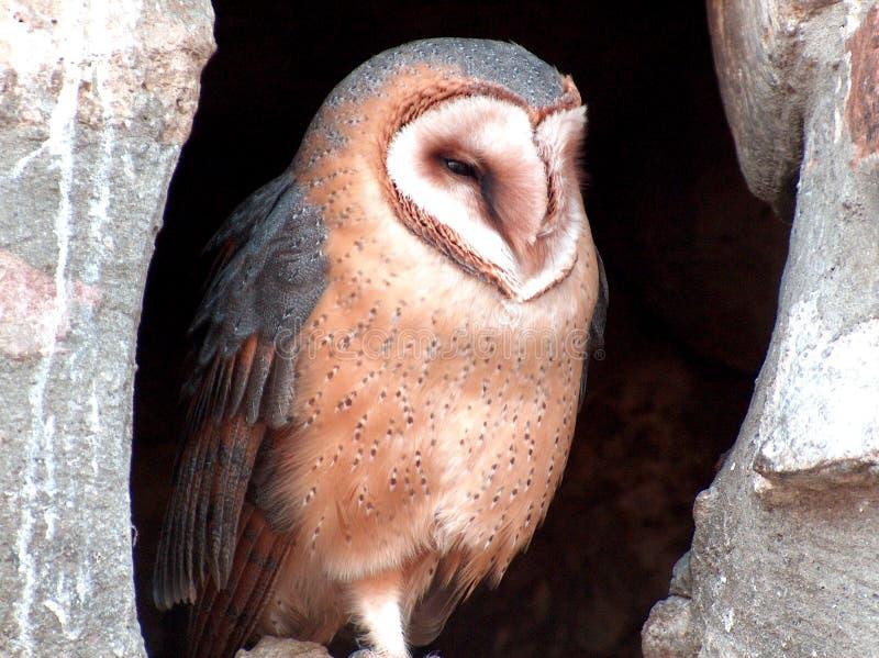 Wonderful portrait of owl royalty free stock image