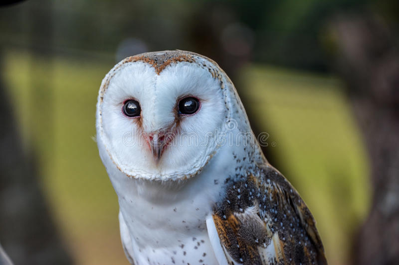 Barn owl (Tyto alba) portrait. Barn owl (Tyto alba) white black and brown portrait royalty free stock images