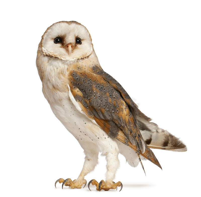 Download Barn Owl, Tyto Alba, Standing Stock Photo - Image: 24708696