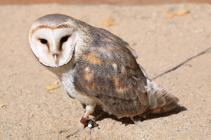 Barn owl (Tyto alba). stock photo. Image of nature, forest ...