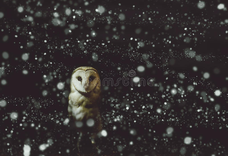 Barn owl winter portrait with dark and snow background royalty free stock photo