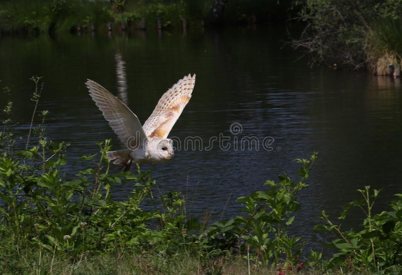 Barn owls family Tytonidae are one of the two families of owls stock photo