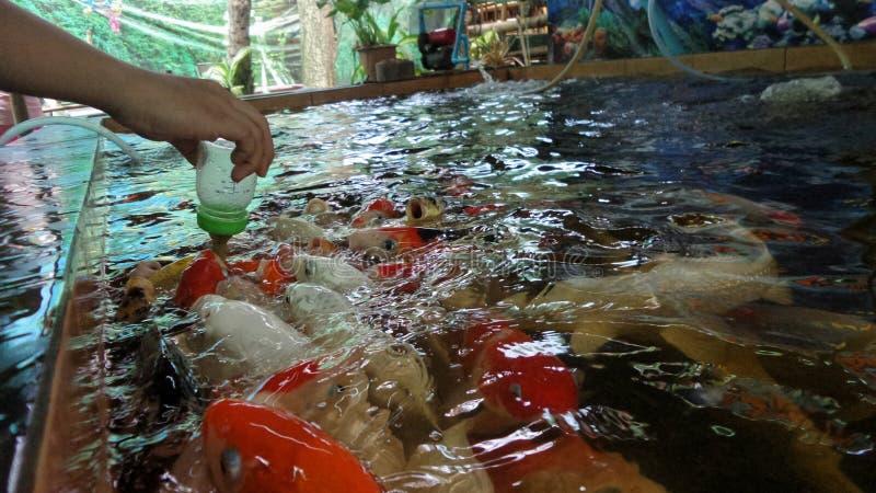 Barn som matar den utsmyckade karpen, fiskar mjölkar förbi flaskan arkivfoto