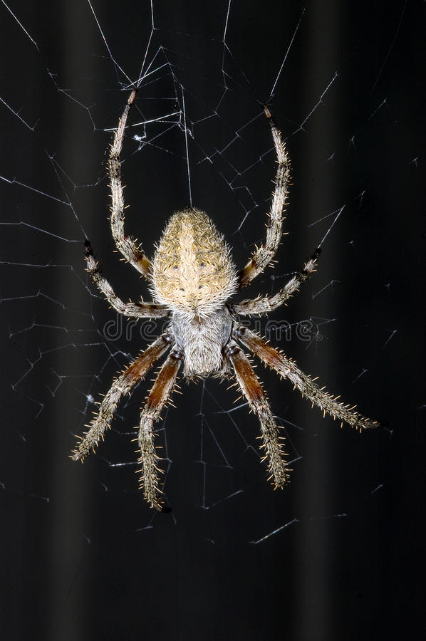 Download Barn Spider on Web stock image. Image of webs, close - 28325923