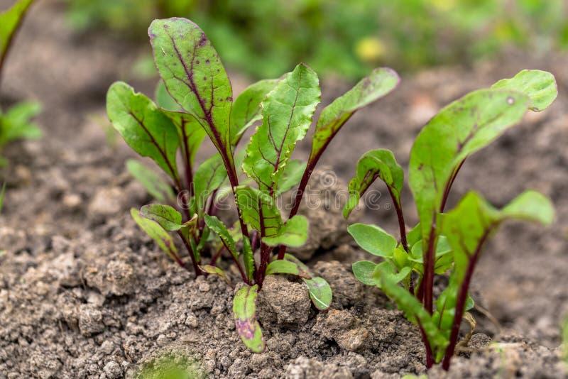 Barn spirad beta som växer i öppen jordplan säng in i trädgården royaltyfri foto
