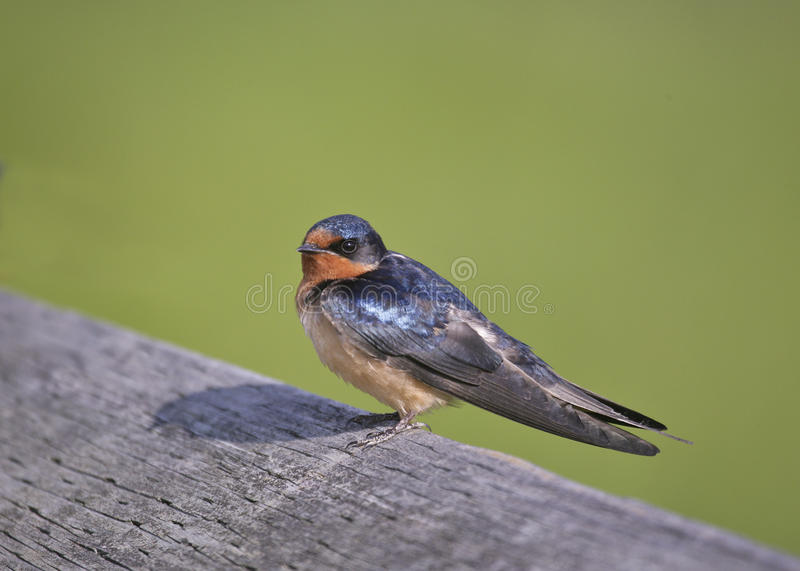 Barn Swallow. (Hirundo rustica) rests on a rail before continuing swooping for insects stock photo
