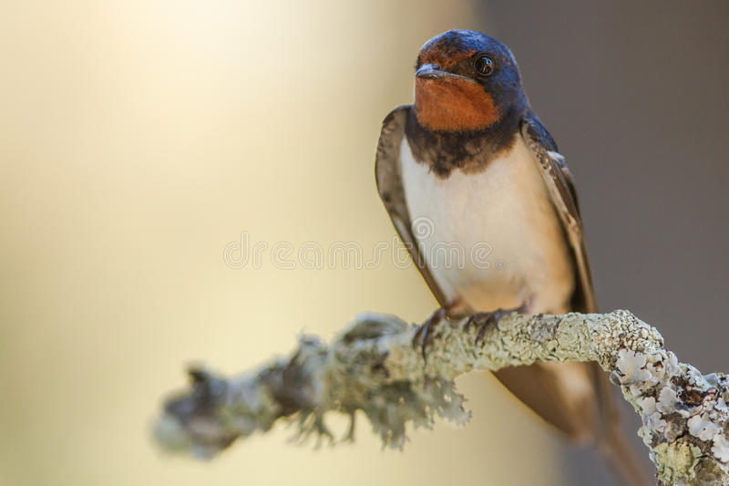 Barn swallow. In the extremadura spain royalty free stock photos