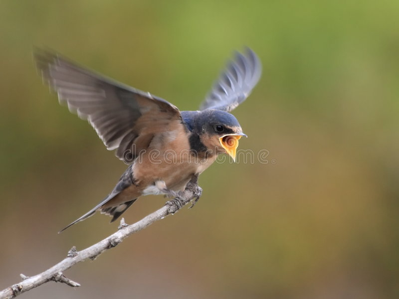 Barn swallow begging for food royalty free stock photo