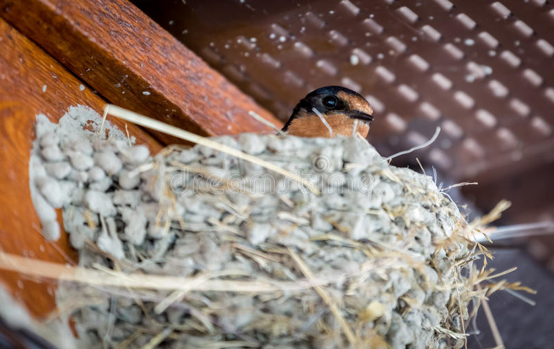 Barn swallow chick. In nest at a site near Lake Minnewanka in the Canadian Rockies royalty free stock photography