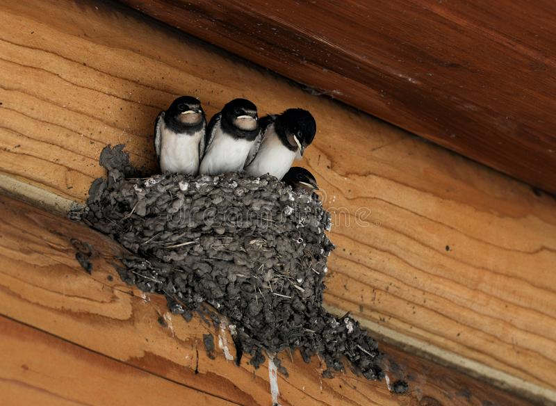 Barn swallow chicks in the nest stock photo