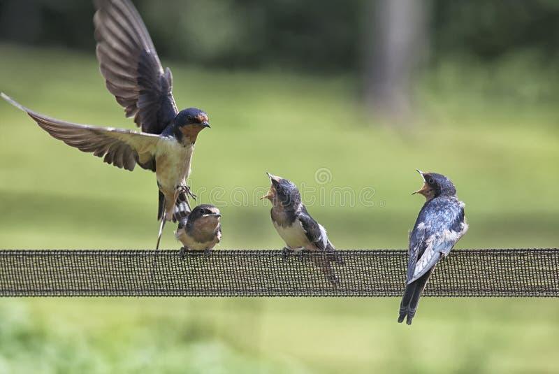 Barn swallow family royalty free stock image