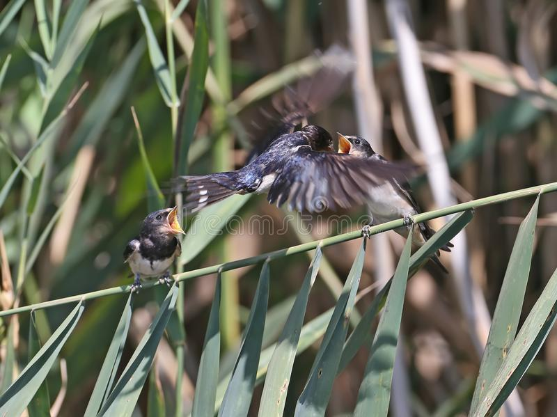 Barn swallow feeding chicks on a slim reed branch. Barn swallow feeding chicks fron the air in flight stock photos