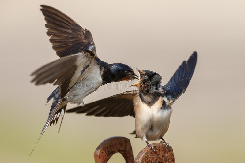 Barn Swallow. Feeds his youngster royalty free stock image