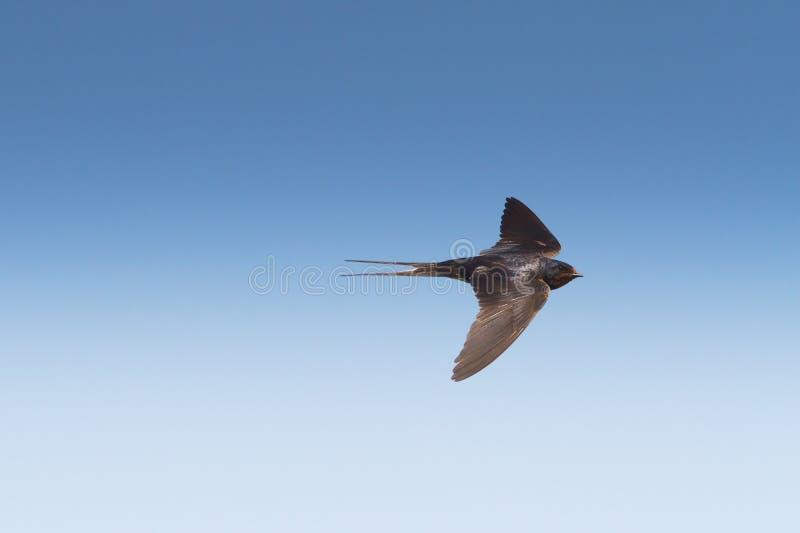 Barn swallow in fligh / Hirundo rustica royalty free stock photo