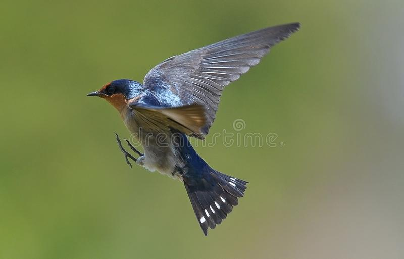 A barn swallow fling in mid air stock image