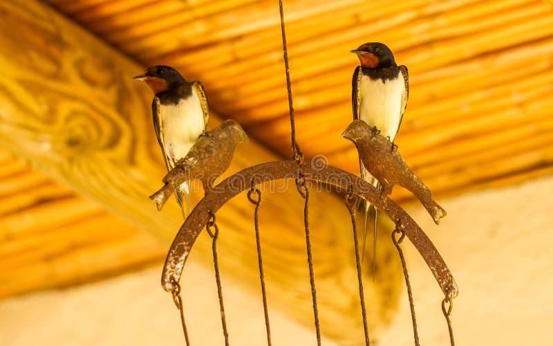 Barn Swallow Hirundo Rustica Andorinha-das-chamines royalty free stock images